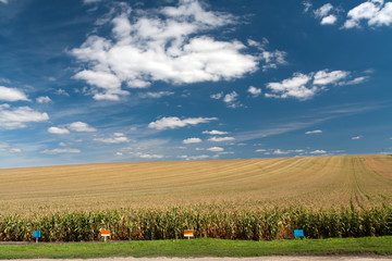 Maize field with cloudy blue sky
