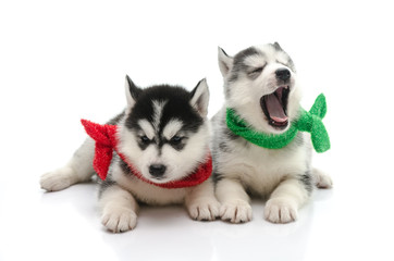 Two cute puppy siberian huky on white background