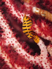Yellow and black sea snail