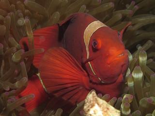 Red and white anemonefish