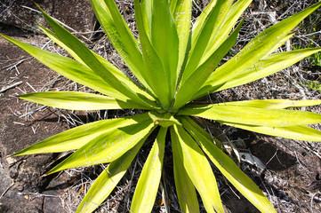 Aloe Vera in the Seychelles with rocks