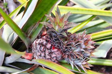 Pineapple in Seychelles