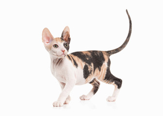 Don sphynx kitten on white background