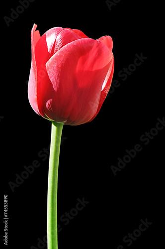 canvas print picture rote Tulpe auf Schwarz