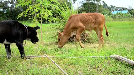 Thai Dog playing with Baby cow