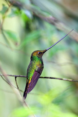 Sword-Billed Hummingbird (Ensifera ensifera) in Guango, Ecuador,