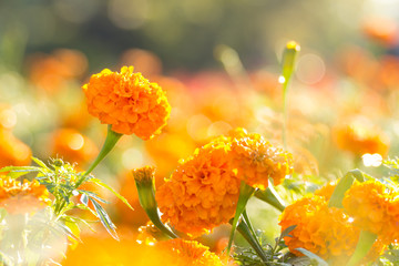 Marigold flowers with water drop in the morning
