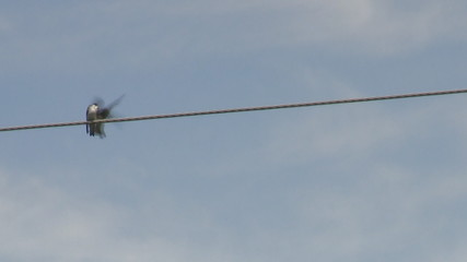 Two Swallow Birds on a Wire in Love or Fighting
