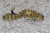 Black-tailed Rattlesnake (Crotalus molossus) poster