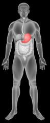 Stomach digestive system