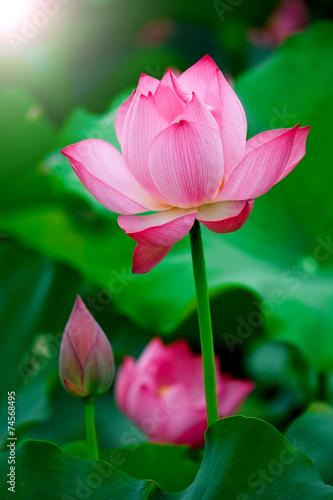Canvas Lotusbloem Lotus flower