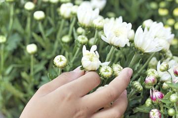 close up of white chrysanthemum