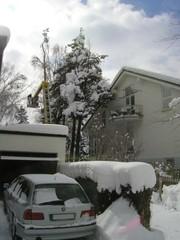 Baumfällen einer hohen verschneiten Tanne mit Kran