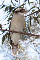 Kookaburra auf einem Ast - Eisvogel - Australien