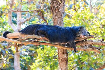 Binturong, Bearcat (Arctictis binturong) in the zoo