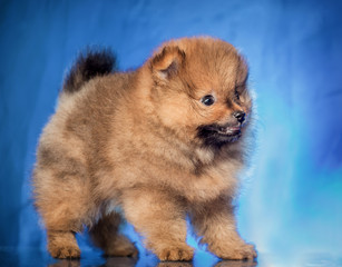 The puppy of the spitz-dog