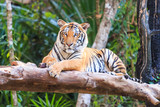 Bengal tiger (Panthera tigris tigris) in the zoo
