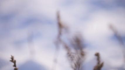 Reeds winter