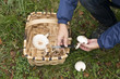 Hands picking mushrooms in the forest.