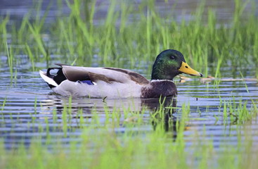 Male mallard duck floating on the water