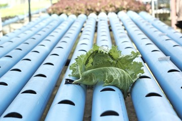 Organic hydroponic vegetables is planted in a garden