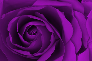 Close up of purple or violet rose make from paper,  abstract bac