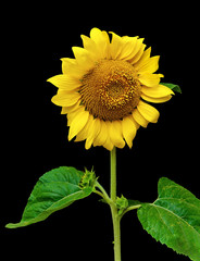 blooming sunflower isolated on a black background