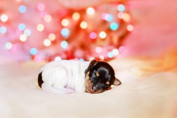 Toy fox terrier puppy