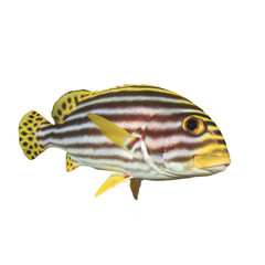 Tropical fish isolated on white: Oriental Sweetlips