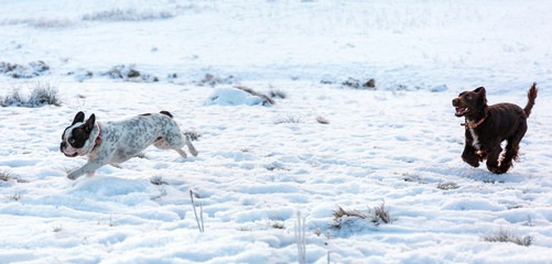 French bulldog and spaniel playing on the snow