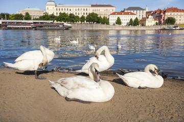 Swans by Vltava River; Prague; Czech Republic