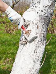 Whitewashing of trees