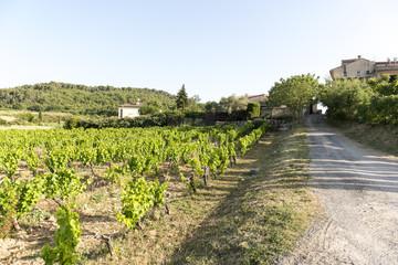 Vineyard in Provence