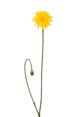 autumn hawkbit yellow flower isolated on white