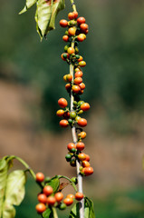 coffea on vertical limb