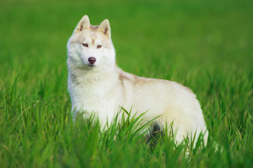 Portrait of Siberian husky on green grass background