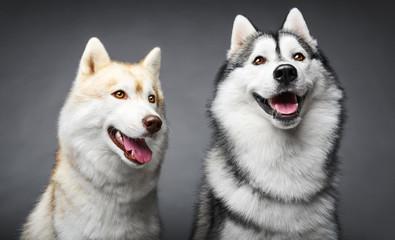 Portrait of couple siberian husky on gray background