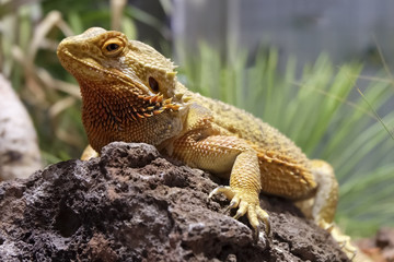 Bearded dragon in natural surrounding