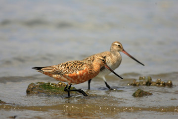 Bar-tailed Godwit (Limosa lapponica) in Japan