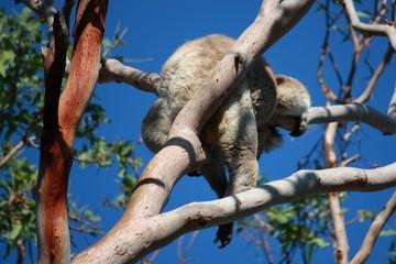 Koalabär greift nach Eukalyptus in der Wildnis - Australien