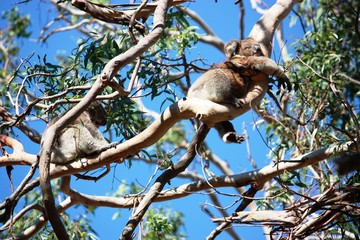 Koalabärkinder in der Wildnis - Australien
