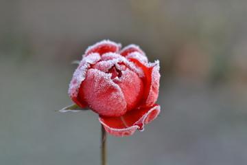 Роза на рассвете