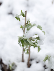 snow on the leaves raspberries