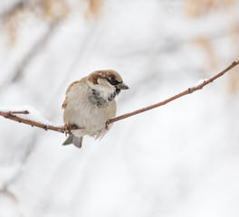 Sparrow winter nature