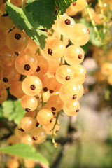 white currant fruit