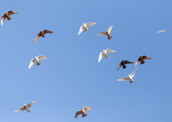 a flock of pigeons in the blue sky
