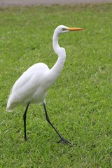 American white egret - Fairchild Gardens