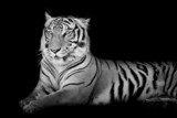 Black and White grand Tiger