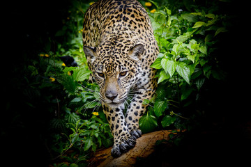 Jaguar walking in the forrest