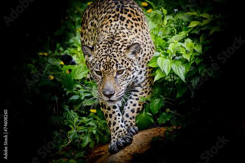 Fotobehang Luipaard Jaguar walking in the forrest